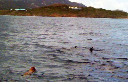 Dolphins in st croix diving